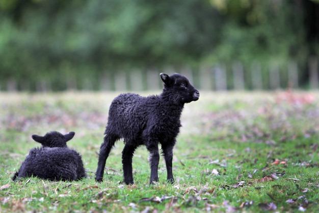 Nouvelle Zélande impact banques environnement moutons