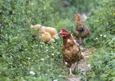 Aidez des poules à atteindre l'âge d'or avec Poulehouse !