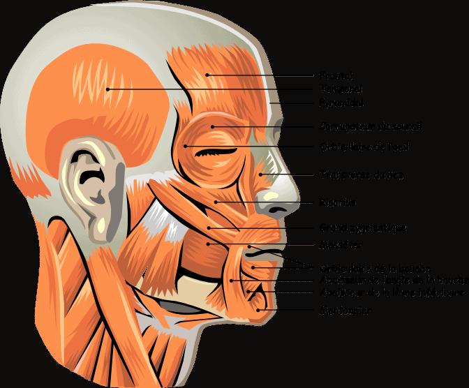 yoga du visage muscles